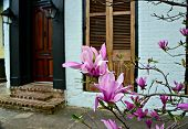 Japanese magnolias in bloom