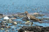 Common Sandpiper Overlooking Pollution And Sewage