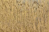 stock photo of bulrushes  - A bulrush background from an ocean shore - JPG