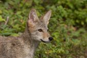 picture of coyote  - Juvenile coyote head and shoulders profile portrait - JPG