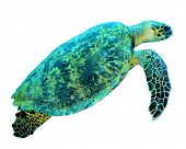 picture of hawksbill turtle  - Hawksbill Sea Turtle isolated - JPG