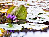 Water Lilly Flower