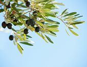 Olives on the tree against blue sky. Selective Focus.