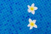 two frangipani flowers on blue
