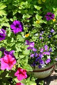Beautiful Petunia And Lobelia