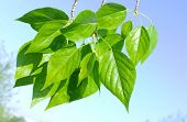 Green poplar leaves on blue sky