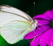 White cabagge sulphur butterfly