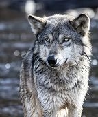 image of wolf-dog  - Close up image of a Timber Wolf - JPG