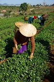 Tea Picker Pick Tea Leaf On Agricultural Plantation