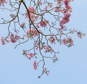 Pink Trumpet Blossom