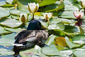 Duck And Water Lily