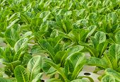 foto of hydroponics  - Close Up Of Romaine Lettuce Plantation In Hydroponics System - JPG