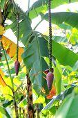 Banana Blossom In The Groves