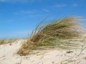 Dune Grass With Blue Sky