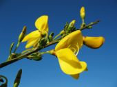 Broom Blossoms With Blue Sky