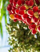 pic of raja  - close up ripen fruit of lipstick palm or sealing - JPG