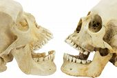 image of eye-sockets  - Two human skulls in front of each other - JPG