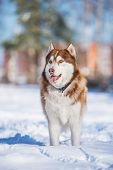 stock photo of husky sled dog breeds  - brown siberian husky dog in the snow