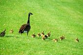 stock photo of mother goose  - Canadian mother goose with her goslings walking on green grass - JPG