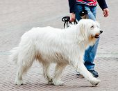 stock photo of dog-walker  - Ioujnorousska - JPG