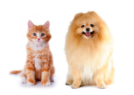 picture of cat dog  - Cat and dog red color sitting isolated on white background - JPG