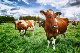 stock photo of cattle breeding  - Herd of cows at summer green field - JPG