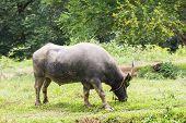 Buffalo Grazing In A Field
