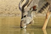 Kudu Antelope - African Wildlife Background - Golden Life of the Free