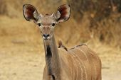 Kudu Antelope - African Wildlife Background - Listening to Nature