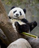 Chinese Panda Bear In Tree Eating Bamboo, Male Juvenile, China