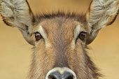 Waterbuck - African Wildlife Background - Intense Risk Assessment