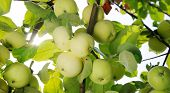 Group Of White Apples On The Branch