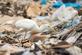stock photo of maggot  - A Cattle Egret  - JPG