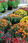 Gorgeous Hardy Mums for planting