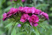 Flowering Turkish carnations