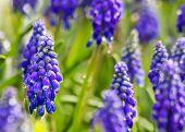 Purple Muscari Armeniacum Closeup
