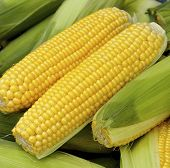 The crops of corn