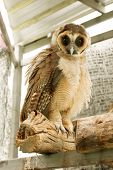 Brown Faced Owl