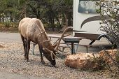 Bull Elk Grazing in Campground
