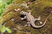 Western Fence Lizard on Moss