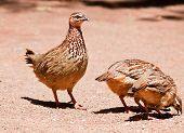 Family of Crested Francolin