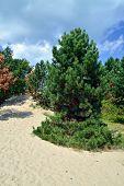 Pine On The Sand Dune