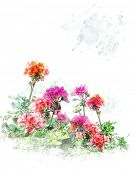 Watercolor Digital Painting Of Colorful Geranium Flowers