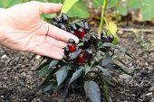Fresh growing Ornamental Pepper Plant in soil growing