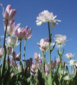 Tulips On Sky