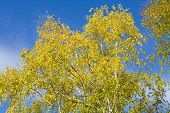 Birch Leaves On Blue Sky