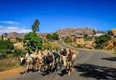 Zebu walking on the road