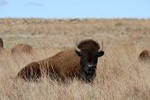 Bison resting on the prairie