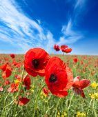 Poppy flowers field, summer beautiful landscape.