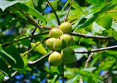 Green nuts on a tree branch